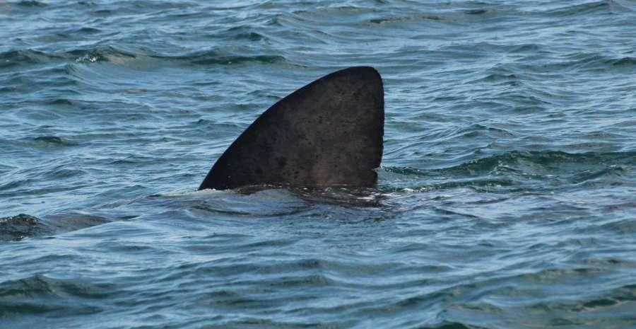 Manx Basking Shark Watch FB
